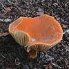 Lactarius Mushroom