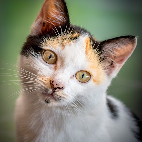 by Mohd hafizan Ilias - Animals - Cats Portraits (  )