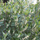 Cherry laurel bush