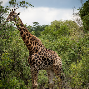 Lunch time by Werner Booysen - Animals Other Mammals ( wild life, nature, giraffe, nature and wildlife, wildlife, nature photography, werner booysen,  )