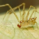 Golden Comb-footed Spider