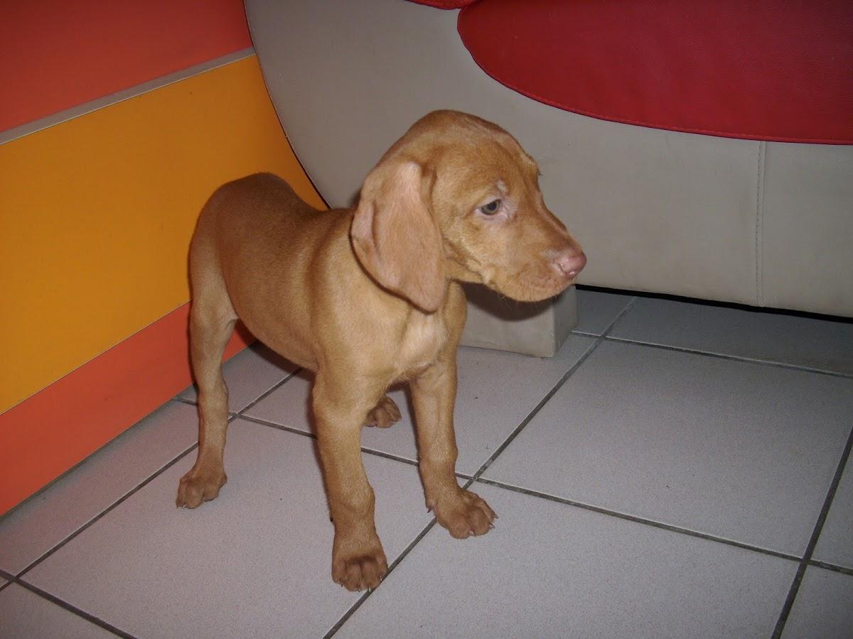 Hungarian Viszla Dog