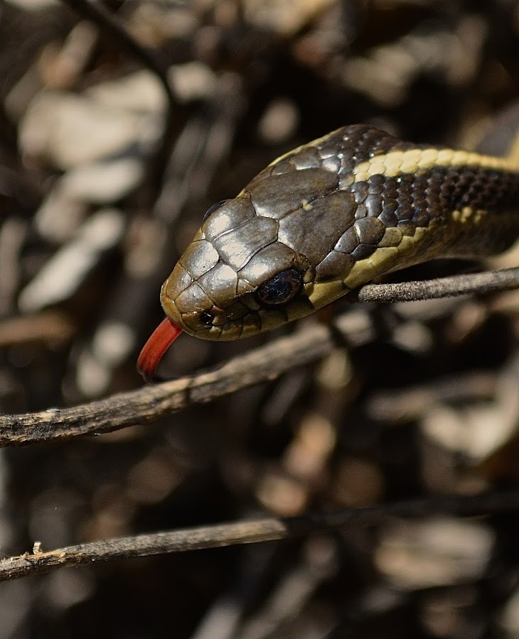 Snake In The Garden by Ed Hanson - Animals Reptiles ( snake, red, tongue, reptile, close-up )