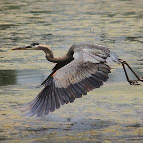 Blue Heron in Flight by Angela Wescovich - Animals Birds ( bird, water, flight, wings, wildlife, heron, , fly )
