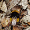 Bumblebee / Bumbar