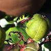 Green jewel bugs