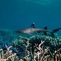 Whitetip Reef Shark;