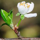 Almond Blossoms; Almendro en flor