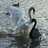 Mute Swan (black swan / white swan)