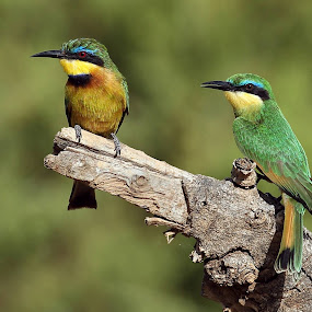 Little bee eaters by Sue Green - Animals Birds (  )