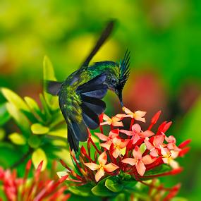 humming bird by Anna Trandeva - Animals Birds ( green, in flight, flower, humming bird,  )