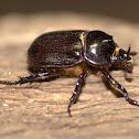 Fork-horned Rhino Beetle (Male)