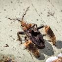Feather-legged Assassin Bug