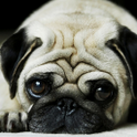 Pug HD Wallpapers icon