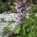 Crimean orchid