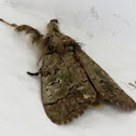 Variable tussock moth