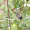 Broad-billed hummingbird (immature)