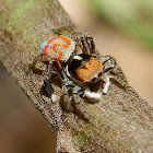Peacock Jumping Spider - male