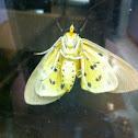 Yellow Peach Moth?