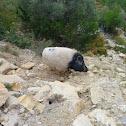 Pot-bellied pig X Wild Boar Hybrid