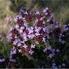 Thymus vulgaris (Tomillo)