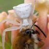 Araña cangrejo. Spider crab