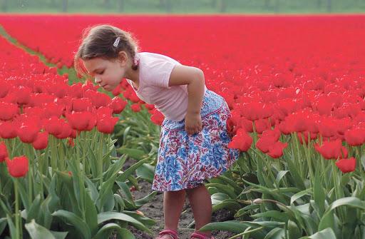 A little girl shines among the tulips in the Keukenhof flower garden near Lisse in the Netherlands.