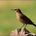 Brown Rock-chat