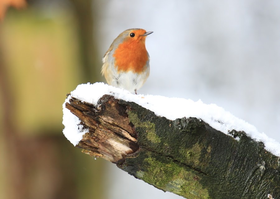 by Chris Mcgurgan - Novices Only Wildlife ( muff forest in the snow )