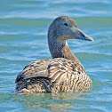 Common Eider (female, chicks and male)