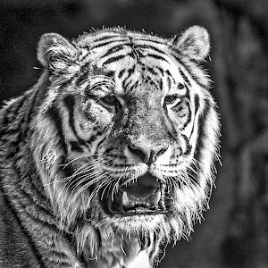 Tiger bw-1.jpg