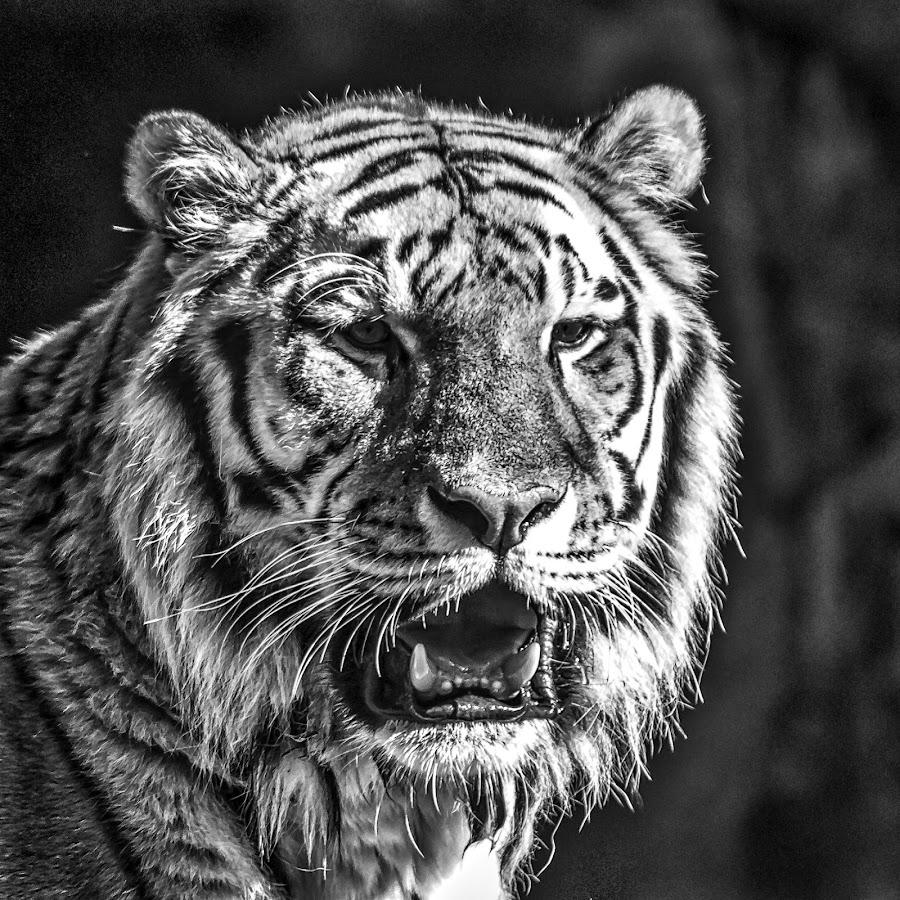 Tiger by Carol Plummer - Black & White Animals
