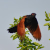 Greater Coucal / Crow Pheasant