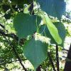 Tilleul a grandes feuilles