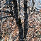 Green Woodpecker; Pito Real