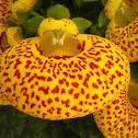 Calceolaria, Zapatitos de la virgen. Lady's purse