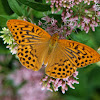 Silver washed fritillary (male)