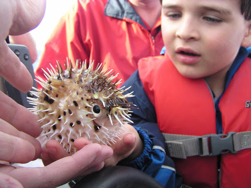 A young cruiser inspects a puffer fish on an Un-Cruise Adventures sailing.