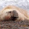Elefante marino (Elephant seal)