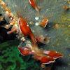 Goosefish Barnacle