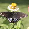 Parsnip Swallowtail
