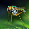 Longlegged Fly