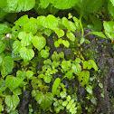 Rock Begonia Plant