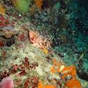 Black scorpion fish