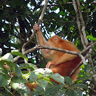 Mantled howler monkey(rare lack of melanin)
