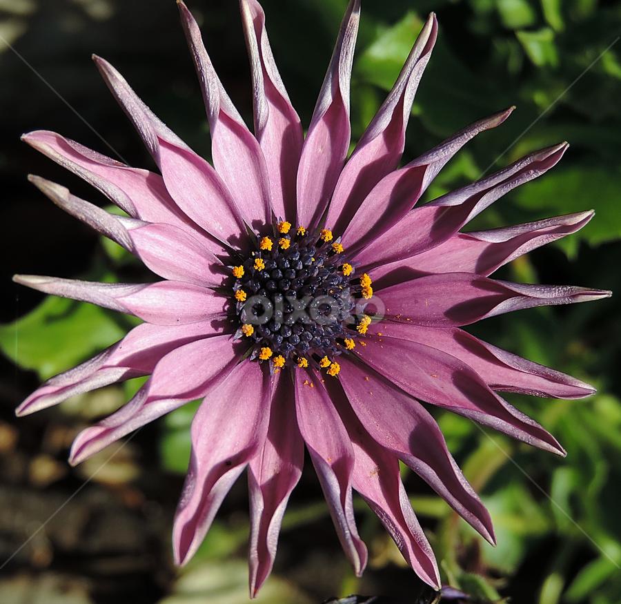 by Adriana Kastelan - Flowers Single Flower