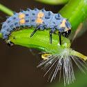 Seven-spot ladybird larva, Larva de mariquita de siete puntos