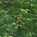 North America oriole