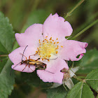 Flower Longhorn Beetle (female)