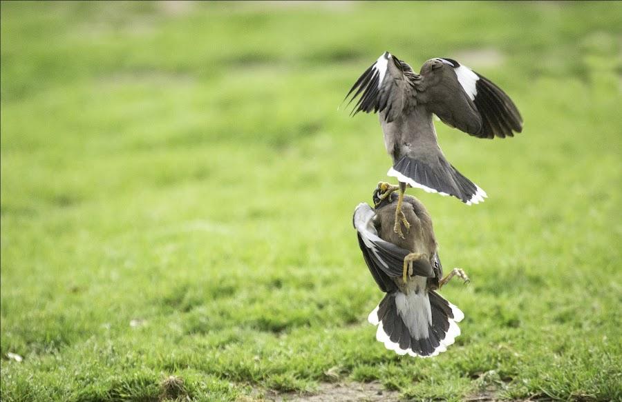 Shut your mouth... or i will by Assi Dvilanski - Animals Birds ( park, fight, myna, birds )